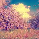 Vintage blossoming apple orchard