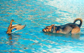 Dog hunting wild duck in lake